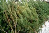 Живые елки оптом