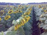 семена подсолнечника Оскил
