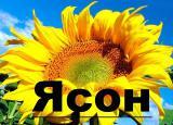 Продаємо  насіння гібриду соняшнику Ясон (106-108дн) ранньостиглий