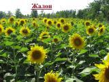 Посівний матеріал соняшнику Жалон