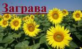 Гібрид соняшнику  «Заграва» 100-108дн.