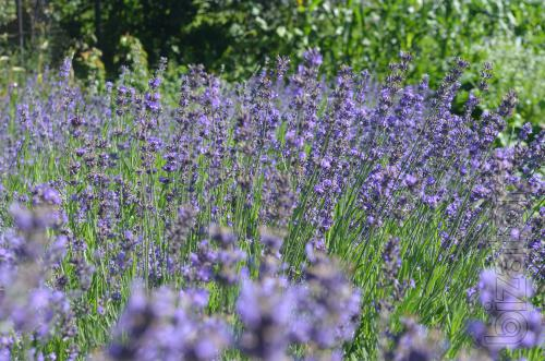 Лаванда lavender