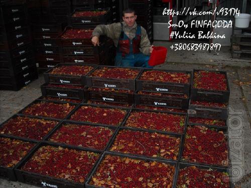 Рабочий на сбор лесных ягод в Финляндии на сезон