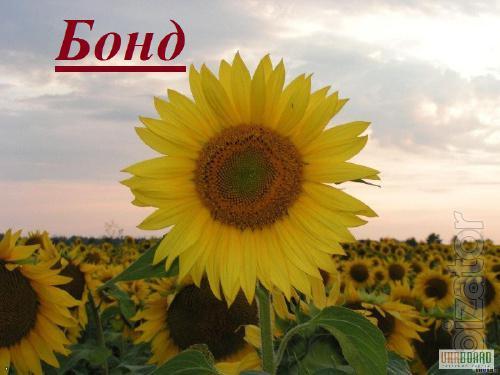 Пропонуємо посівний матеріал соняшнику Бонд