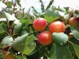 Продажа саженцев плодовых деревьев