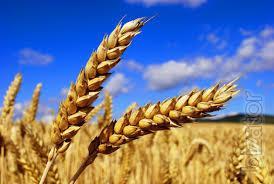 Продам зерно пшеницы 2-й, 3-й класс