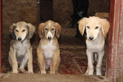 Продаются щенки Тазы (Казахская борзая)