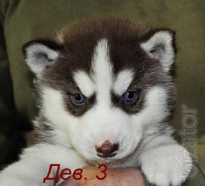 Сибирский хаски, щенки КСУ-FCI.