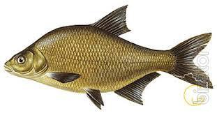 Куплю оптом без посредников свежую или свежемороженую рыбу: лещ, тарань, густеру. Самовывоз.