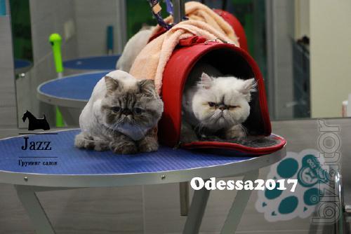 Стрижка кошек в Одессе. ЖМ Альтаир. Грумер Ирина Подгорная.