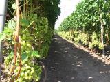 Опоры, подпорки, шпалеры для винограда и кустарников из стекловолокна!