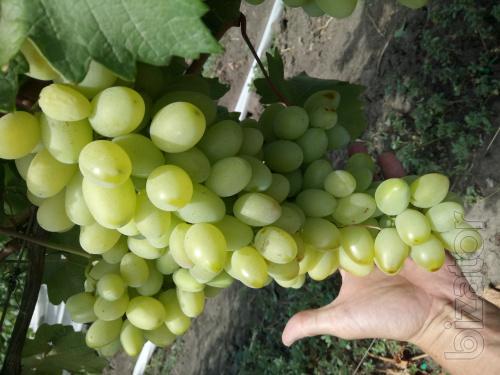 виноград столовый свежий