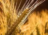 куплю пшеницу по всей стране