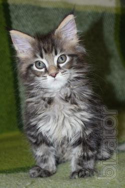 Продам элиту кошек-ее зовут- мейн-кун