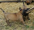 Продаются щенки бельгийской овчарки (малинуа).