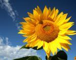Компанія «Гран» пропонує насіння гібриду соняшнику Бонд