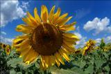 Продаємо Карлос 105 гібрид соняшнику