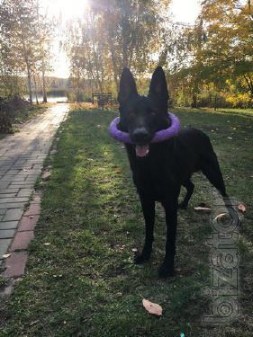 Вязка. Немецкая овчарка черного цвета (кобель)