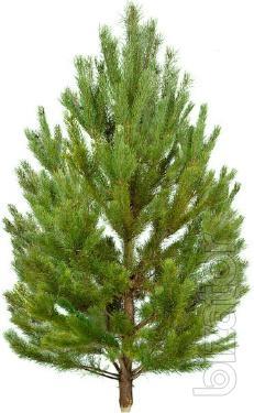 Новогодние хвойные деревья оптом - Ель, Пихта, Сосна
