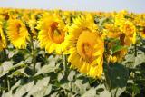 Насіння соняшнику Гранд (стійкий до 50гр.експресу)