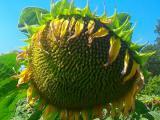 Насіння соняшника НС Х 2652, під гранстар