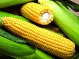 Насіння кукурудзи Яніс