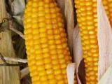 Насіння кукурудзи Тесла