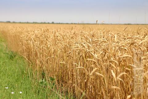 ТОО представит ваши интересы по закупу пшеницы