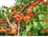 Садовый центр «Солнце сад» предлагает оптом следующие сорта саженцев