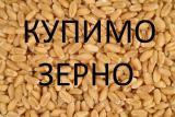 Закупляємо зернові на постійній основі