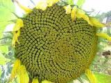 Сорт соняшника Лакомка сорт(1р.)5 р.), грн./кг