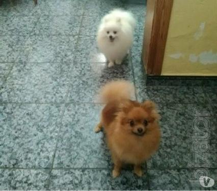 Pomeranian parti POM who the!!
