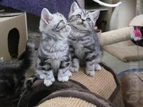 British longhair kittens for sell !!