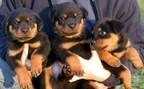 Purebred Rottweiler puppies in Ukraine!!