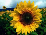 RIMI соняшник під євро-лайтнінг