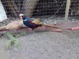 Инкубационные яйца Румынских-изумрудных фазанов