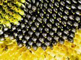 Закупаем кондитерскую семечку и крупные сорта гибридного и масличного подсолнечника