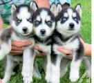 Husky puppies for free - you will get a puppy husky