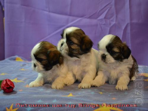 sell the puppies Shih Tzu
