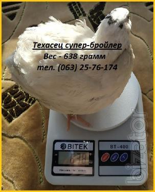 Яйца инкубационные перепела Белый Техасец - супер бройлер.