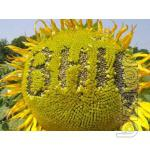 Seeds of sunflower hybrid Ukrainian F1