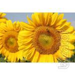 "Seeds of sunflower hybrid ""Ukrainian sun"""