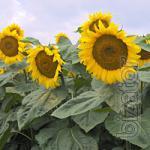 Sunflower seeds(posimat) SEGRAVE