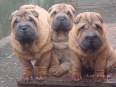 The Pei will sell puppies.