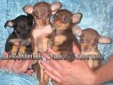 Chihuahua and Russian Toy Terrier sold mini puppies