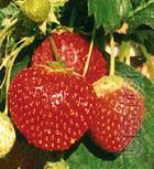 Strawberry 100 varieties