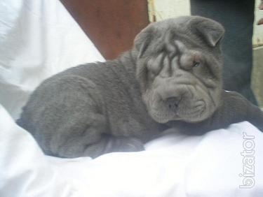 Shar Pei puppies rare colors.