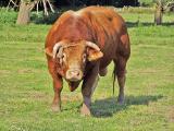 Закупаем оптом крупно рогатый скот КРС и свиней живым весом, куплю КРС оптом в любом регионе России