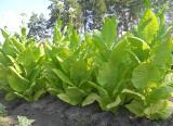 Tobacco seeds - 100 varieties.
