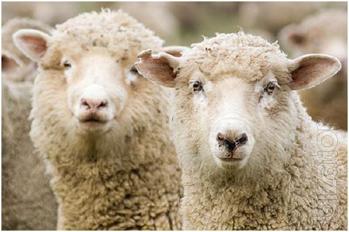 Шерсть овечья мытая Меренос